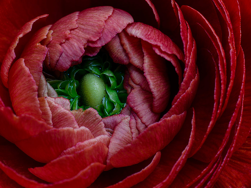 Red Ranunculus
