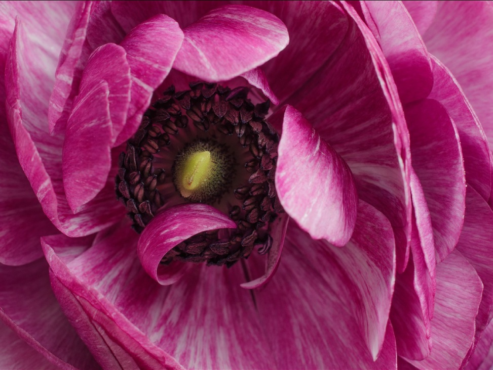 Macro of an Ranunculus flower