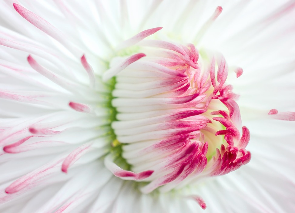 Bellis Perennis flower