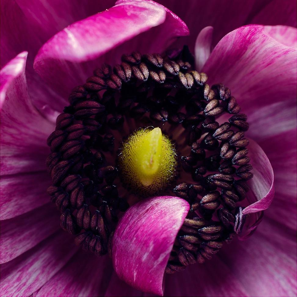Ranunculus flower macro