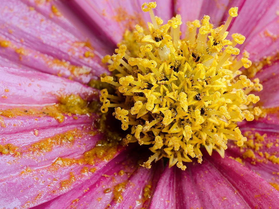 Macro of a pink African Daisy flower