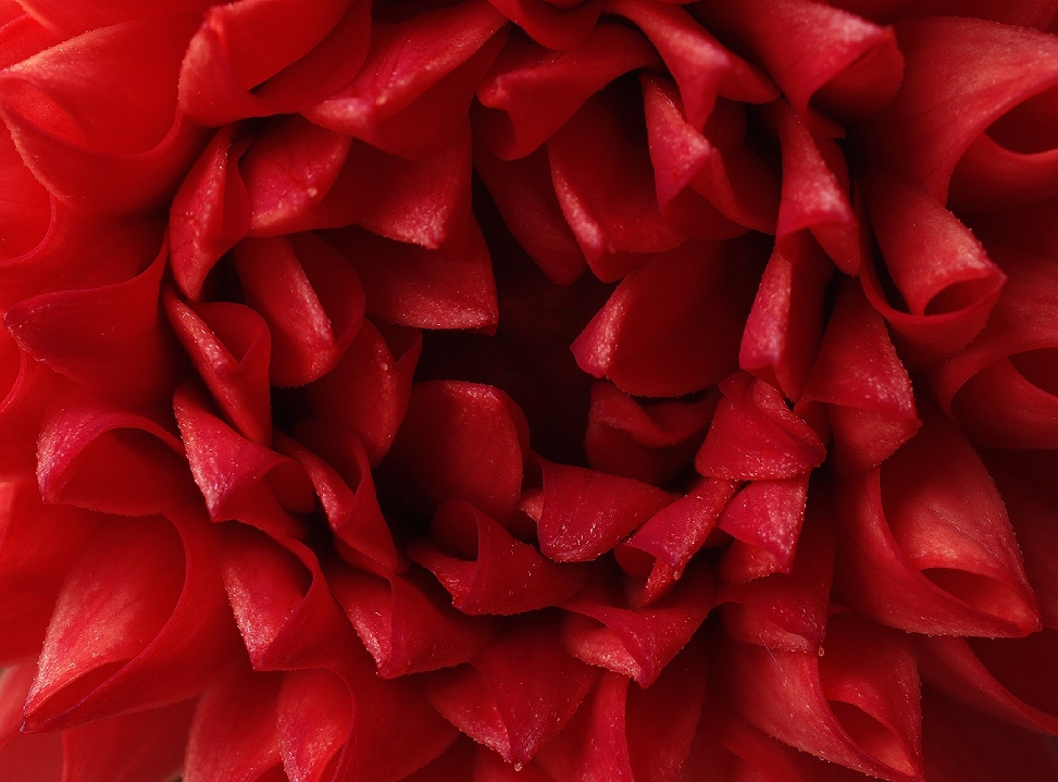 Macro of a red Dahlia
